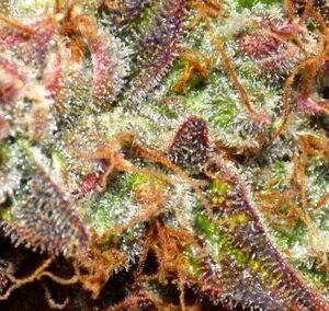 Jungle Cake Topshelf Sativa